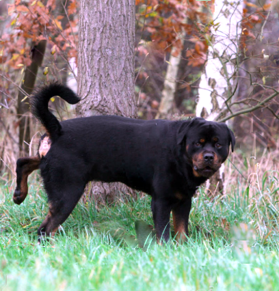 rottiepeeing