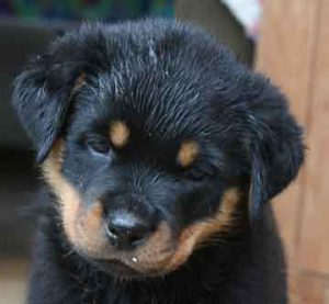 puppy-evaluation-female_maurer